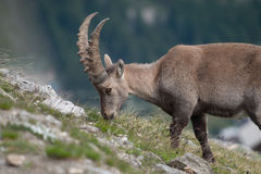 Portrait of Young Ibex in Alps Royalty Free Stock Photos