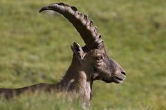 Portrait of young ibex in the Alps. Young male ibex in Gran Paradiso Park Stock Images