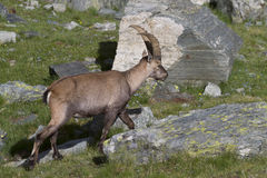 Portrait of young ibex in the Alps Royalty Free Stock Image