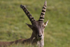 Portrait of young ibex in the Alps Stock Photography