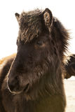 Portrait of a young Icelandic foal with curly mane Stock Photo