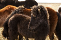 Portrait of a young Icelandic foal with curly mane Royalty Free Stock Photos