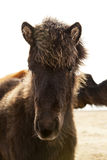 Portrait of a young Icelandic foal with curly mane Royalty Free Stock Images