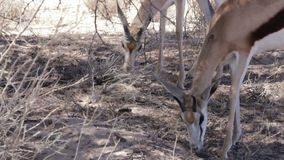 Portrait of young Impala antelope grazing stock footage