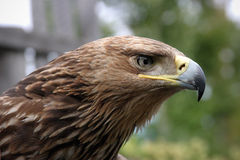 Portrait of a young Imperial eagle royalty free stock photography