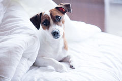 Portrait of a young jack russell terrier Royalty Free Stock Image