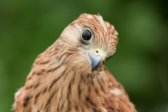 Portrait of a young kestrel Stock Photography