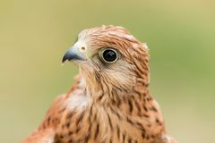 Portrait of a young kestrel Stock Photo