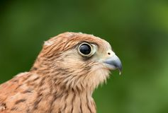 Portrait of a young kestrel Stock Image