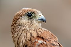 Portrait of a young kestrel Royalty Free Stock Photo