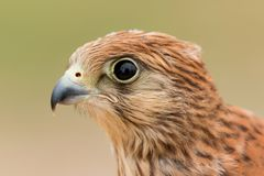 Portrait of a young kestrel Stock Images