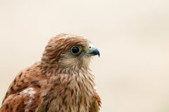 Portrait of a young kestrel Royalty Free Stock Photography