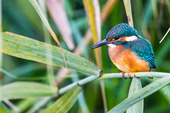 Portrait of young kingfisher Alcedo atthis in the sunlight Royalty Free Stock Image