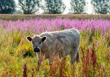 Portrait of a young light colored Galloway cow Stock Photo
