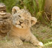 Portrait of young lion cub Royalty Free Stock Image
