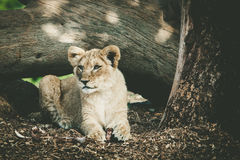 Portrait of a young lion cub in alert staliking pose. Royalty Free Stock Image