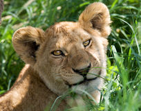 Portrait of a young lion. Kenya. Tanzania. Maasai Mara. Serengeti. Stock Photography