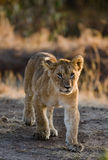 Portrait of a young lion. Kenya. Tanzania. Maasai Mara. Serengeti. Stock Photos