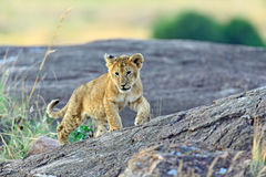 Portrait of young Lion Royalty Free Stock Photography