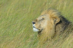 Portrait of young Lion Royalty Free Stock Photo