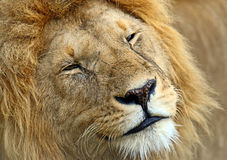 Portrait of young Lion Royalty Free Stock Photos