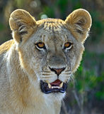 Portrait of young Lion Royalty Free Stock Images