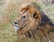 Portrait of young Lion Stock Photos