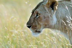 Portrait of young Lion Stock Image