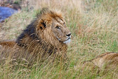 Portrait of young Lion Royalty Free Stock Image