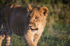 Portrait of young lion in morning light Stock Image