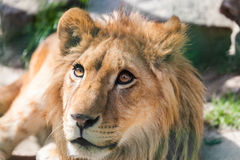 Portrait of a young lion Royalty Free Stock Images