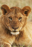 Portrait of a young lion vertically. While looking directly into the camera Stock Image