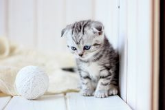 Portrait of young little kitten Royalty Free Stock Photography