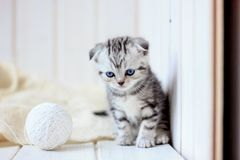 Portrait of young little kitten. Playing on white floor Royalty Free Stock Image