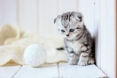 Portrait of young little kitten. Playing on white floor Royalty Free Stock Images