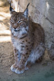 Portrait of a young lynx at the zoo Stock Photos