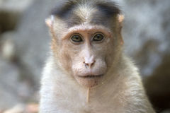 Portrait of a young Macaque closely tracking the order what is happening around. India Goa Stock Images