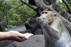 Portrait of a young Macaque taking on food with his hands. India Goa Royalty Free Stock Images