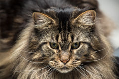 Portrait of a young maine coon male cat Stock Photos