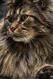 Portrait of a young maine coon male cat Royalty Free Stock Image