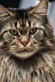 Portrait of a young maine coon male cat Royalty Free Stock Photography
