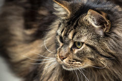 Portrait of a young maine coon male cat Stock Photo