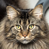 Portrait of a young maine coon male cat royalty free stock photo