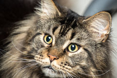 Portrait of a young maine coon male cat Stock Image