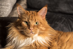 Portrait of a young maine coon male cat on grey couch Stock Photography