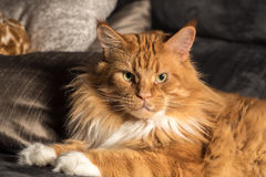Portrait of a young maine coon male cat on grey couch Royalty Free Stock Image
