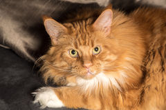 Portrait of a young maine coon male cat on grey couch Royalty Free Stock Images