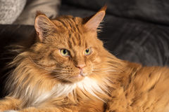 Portrait of a young maine coon male cat on grey couch Stock Photos