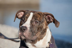 Portrait of young male american staffordshire terrier (Amstaff) playing Royalty Free Stock Photography