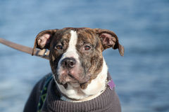 Portrait of young male american staffordshire terrier (Amstaff) playing Royalty Free Stock Photo